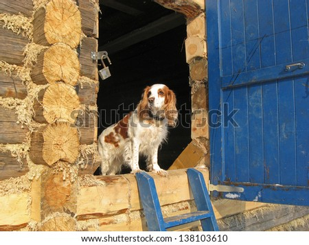 Dog guards the house. Spaniel is on the threshold of the unfinished house - stock photo