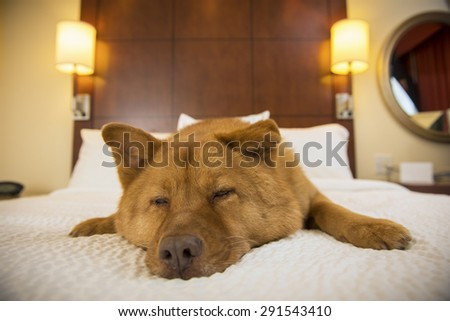 Dog half asleep on bed in hotel room - stock photo
