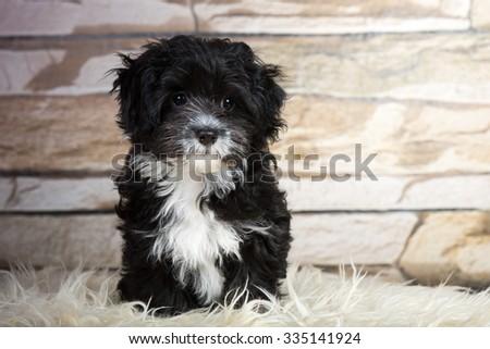 dog havanese puppy - stock photo