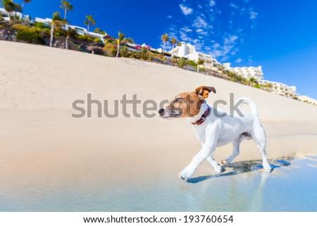 dog having fun running on the beach on summer vacation holidays - stock photo