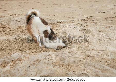 dog head in sand beach like ostrich shame and fear - stock photo