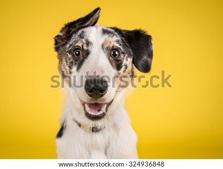 Dog headshot on a yellow background - stock photo