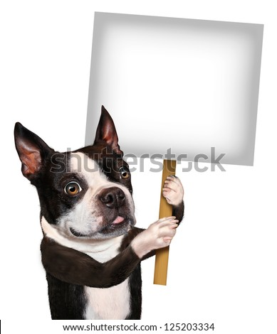 Dog holding a blank sign as a Boston Terrier with a smiling happy expression advertising and communicating a message pertaining to pet care and veterinary issues on white. - stock photo