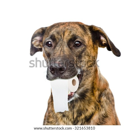 Dog holding a roll of toilet paper in his mouth. isolated on white background