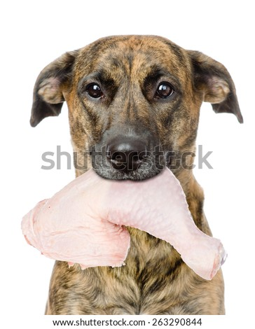dog holding chicken  in its mouth. isolated on white background - stock photo