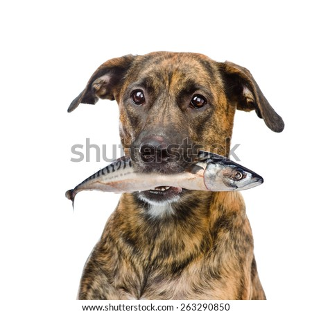 dog holding fish  in its mouth. isolated on white background - stock photo