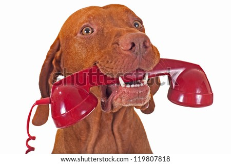 dog holding red telephone receiver in mouth - stock photo