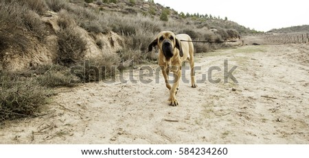 Dog hound walking field, animals and nature