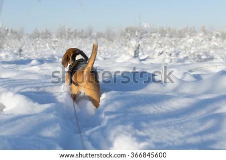 dog hunter walking across the snowfield - stock photo