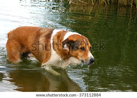 Dog hunting hunter playing in lake river water swimming  - stock photo