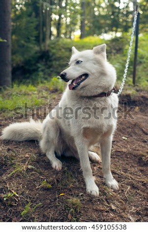 Dog husky sitting in the forest on the chain