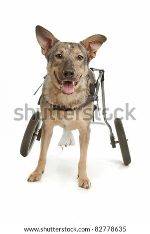 dog in a wheelchair in front of a white background