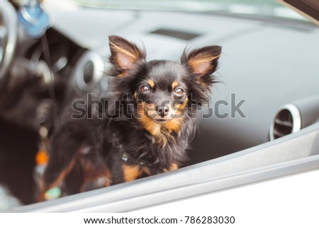Dog in car window. Funny chihuahua dog looks out of a car window. Tiny dog on seat in car. Dog with big ears in a car waiting for owner.
