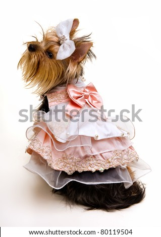 dog in fashionable clothes on a white background.Yorkshire Terrier - stock photo