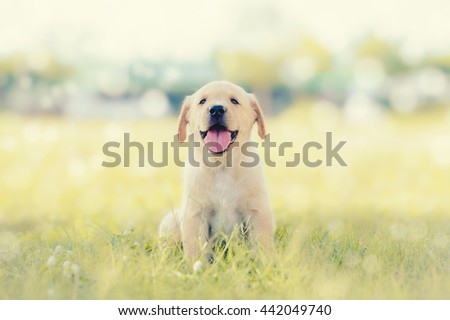 Dog in field. Labrador retriever puppy in field. Puppy lovely. Male dog in park. Dog Tongue. Dog from Thailand. Single dog. Dog sitting on the grass. smiling dog. Photo Dog at center. Happy Dog.  - stock photo