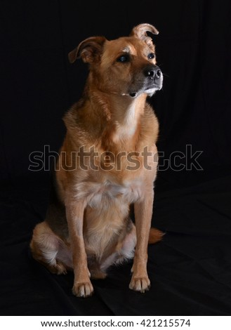 Dog in front of black background - stock photo