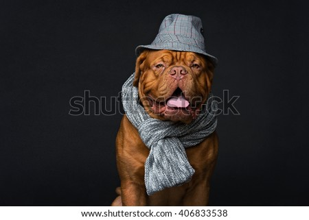 Dog in hat and scarf - stock photo