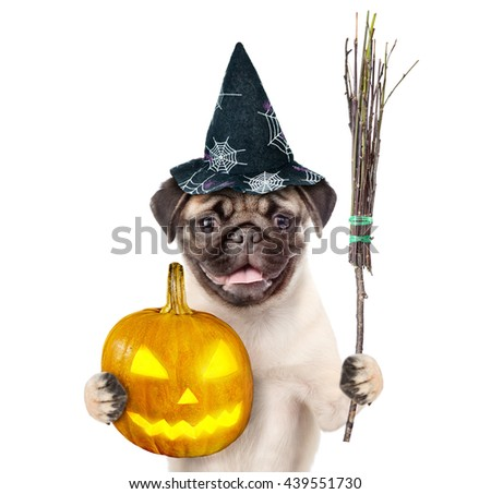 Dog in hat for halloween holding  witches broom stick and pumpkin. isolated on white background