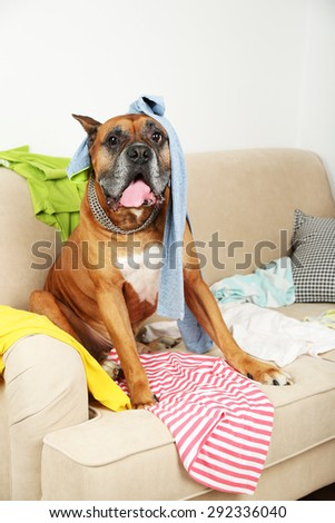 Dog in messy room, sitting on sofa, close-up - stock photo