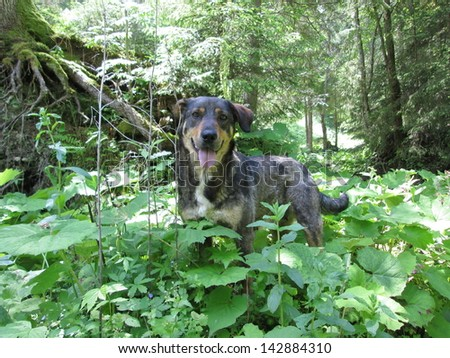 Dog in nature in the forest. Carpathians