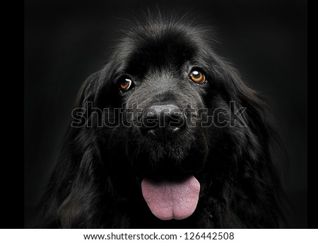 Dog in studio, Newfoundland - stock photo