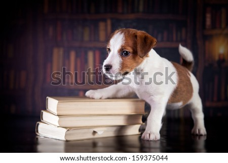 dog in the library. Jack Russell Terrier - stock photo