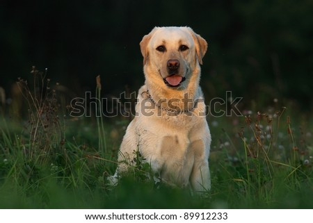 Dog in the meadow - stock photo
