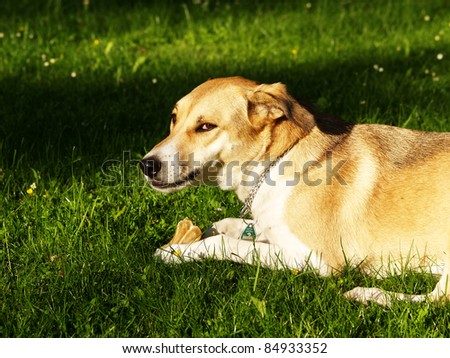 dog in the meadow with chew bone