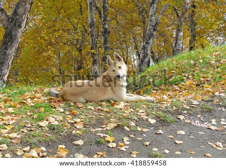 Dog in the Park. a stray dog lies in the Park. clever dog with sad eyes. autumn in the park.  photo with shallow depth of field, there are areas of blurring.  - stock photo