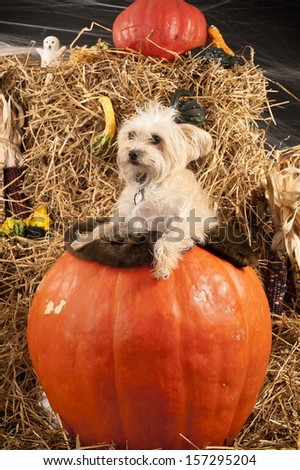 Dog in the pumpkin during Halloween photo shoot - stock photo