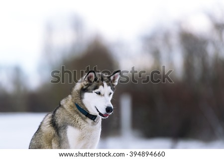 Dog in the winter wood. Breed of a dog - Siberian huskies. Howl - stock photo