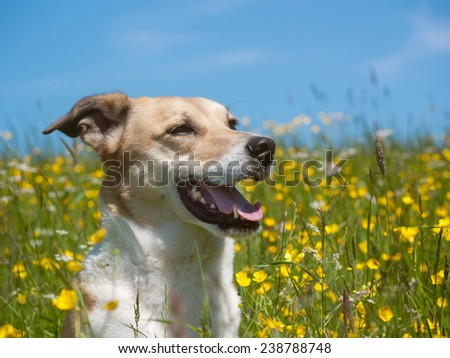 dog in the yellow flower meadow - stock photo