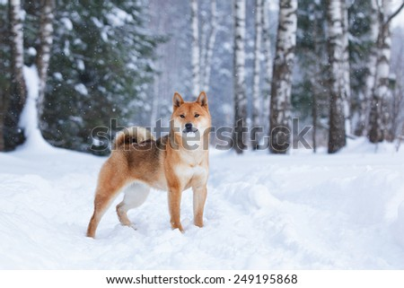 dog in winter forest - stock photo