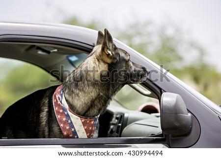 Dog inside a car wearing patriotic bandana - stock photo