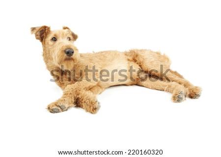 Dog Irish Terrier is resting on white background - stock photo