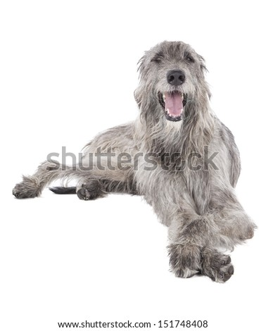 Dog (Irish Wolfhound) on a white background in studio - stock photo