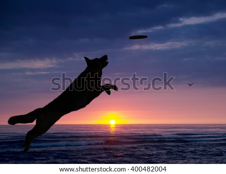 dog is playing on the beach at sunset - stock photo