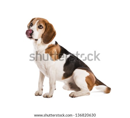 Dog is posing in studio - isolated on white background