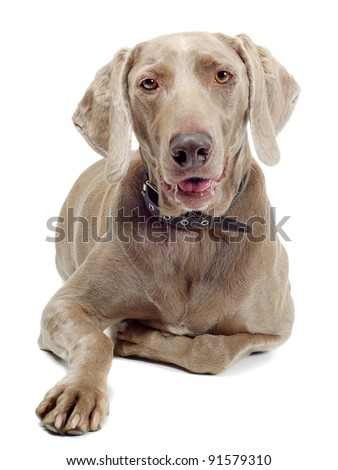 Dog isolated on white - stock photo