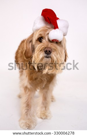 Dog isolated on white background wearing holiday accessories - stock photo