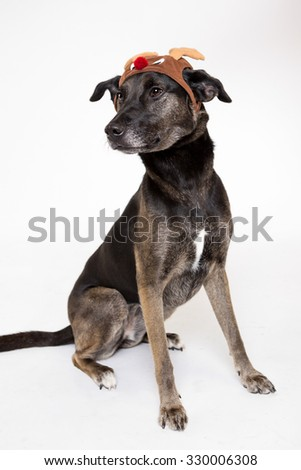 Dog isolated on white background wearing holiday accessories