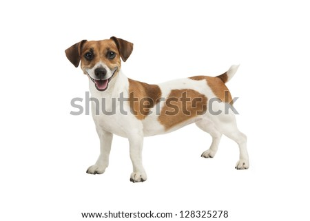 Dog Jack Russel terrier is looking to the camera and smiling. Studio shot. White background. Happy dog