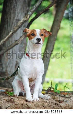 Dog , jack russel terrier  waiting  and watching something. - stock photo