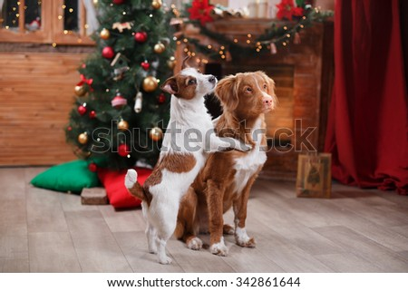 Dog Jack Russell Terrier and Dog Nova Scotia Duck Tolling Retriever holiday, Christmas and New Year - stock photo