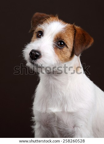 Dog Jack Russell Terrier, portrait