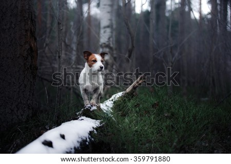 Dog Jack Russell Terrier walking in winter park - stock photo