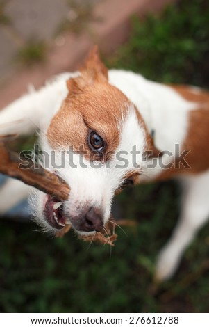 Dog Jack Russell Terrier walking outside in spring - stock photo