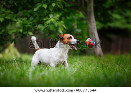 Dog Jack Russell Terrier walks in the park, summer, plays the ball