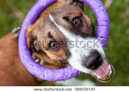 dog Jack Russell Terrier  with a toy rubber ring - stock photo