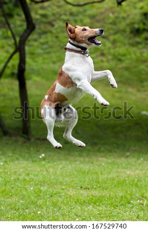 Dog jump into the air. - stock photo